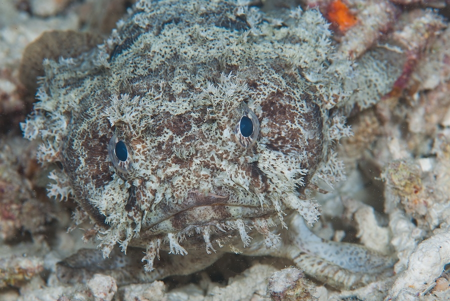 Banded Toadfish