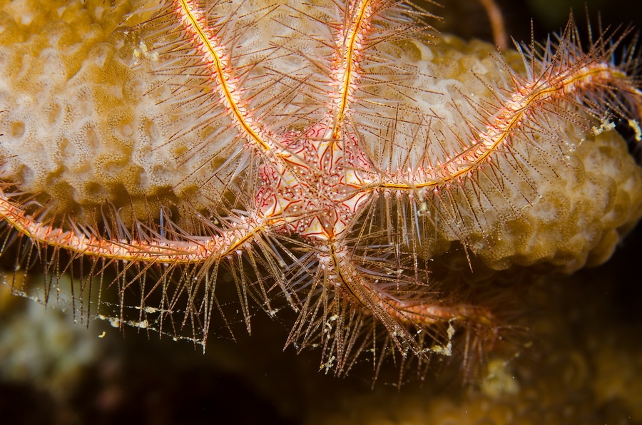 Dark Red-Spined Brittle Star