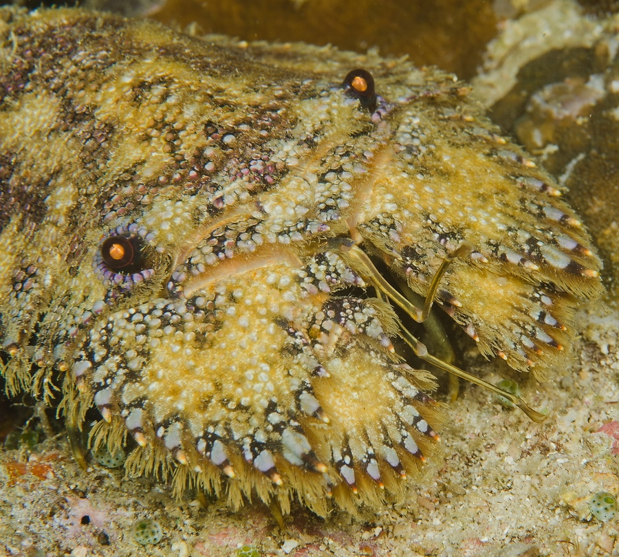Sculptured Slipper Lobster